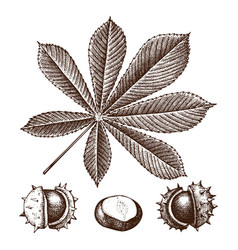 chestnut botanical vector image