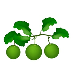 Three Fresh Limes Hanging on A Tree vector