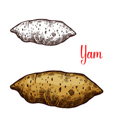 Yam vegetable tuber sketch vector
