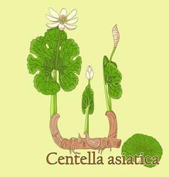 Centella asiatica vector