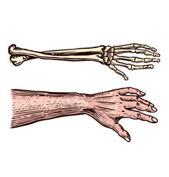 Human and skeleton hands bony arm drawn engraved vector