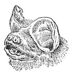 Head of mastiff bat vintage vector