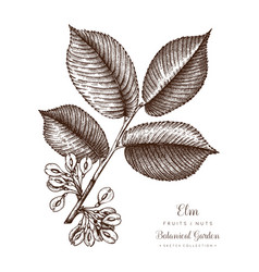 American elm botanical vector