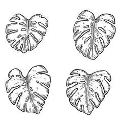 set monstera leaves design element vector image