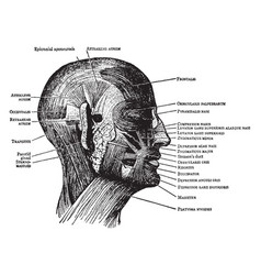 Face and scalp muscles vintage vector