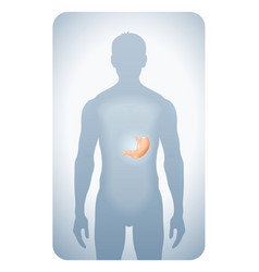 stomach highlighted vector image