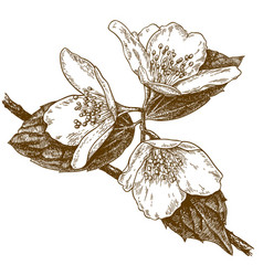 Engraving of three jasmine flowers vector