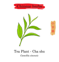 Medicinal herbs of china tea plant camellia vector