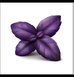 Purple basil leaves on white background vector