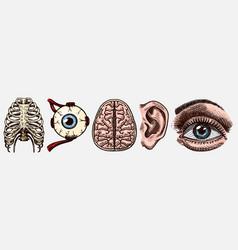 Anatomy human bones organ systems rib cage vector