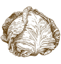 engraving of cabbage vector image