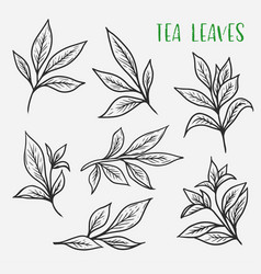 Sketches of green or black tea sprout with leaves vector