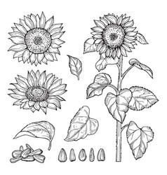 Sunflower sketch seeds blooming flowers vector