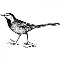 bird white wagtail motacilla vector image