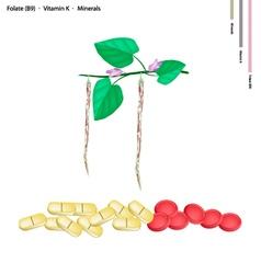 Centrosema Pubescens Bean with Vitamin B9 and K vector