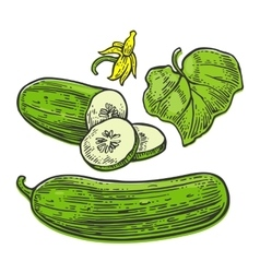 Fresh green cucumbers - whole half slices leaf vector image