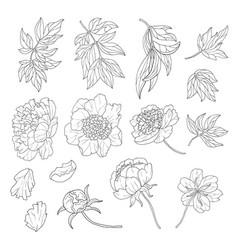 design set with line art peony flowers vector image