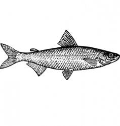 fish coregonus tugun vector image