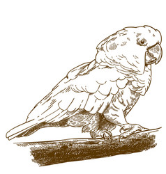 Engraving drawing of white cockatoo vector