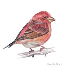 purple finch hand drawing vector image