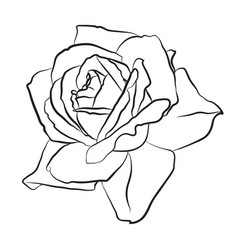 beautiful hand drawn sketch rose isolated black vector image