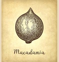 Ink sketch of macadamia vector