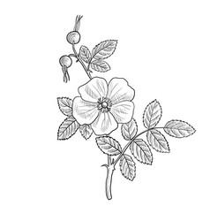 Drawing cinnamon rose vector
