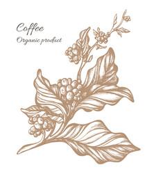 Coffee branch sketch 2 vector