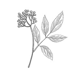 Drawing elderberry vector