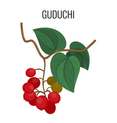 guduchi branch with red berries and leaves vector image