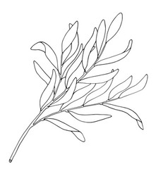 tea tree leaf outline hand drawn botanical vector image