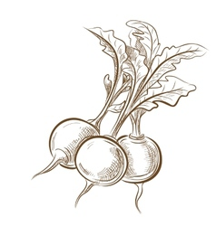 Picture of radish vector