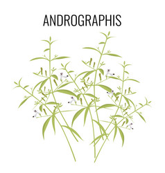 andrographis flowering plant isolated on white vector image
