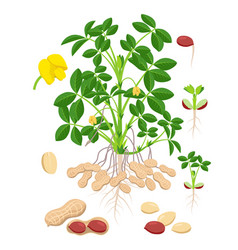 peanut growth parts and stages - set botanical vector image