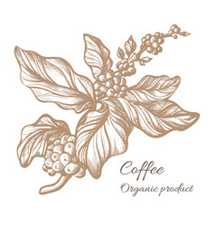 coffee branch sketch vector image vector image