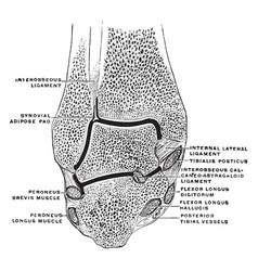 Coronal section through ankle joint vintage vector
