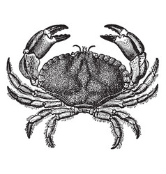 Dungeness crab vintage vector