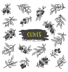sketches of olive berries on branch with leaves vector image