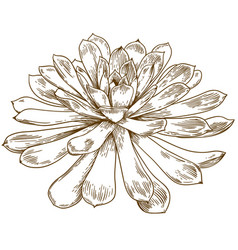 engraving drawing of succulent echeveria vector image vector image