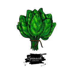 spinach bunch hand drawn vegetable vector image vector image