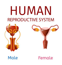 Human reproductive system male and female genitals vector