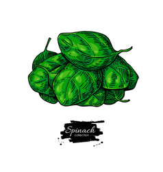 spinach leaves heap hand drawn vegetabl vector image