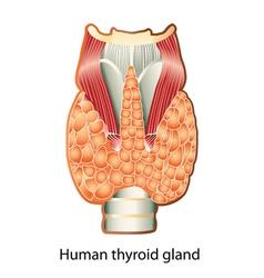 Human thyroid gland vector image vector image