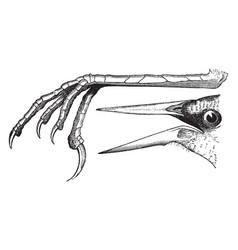 meadow lark foot and bill vintage vector image