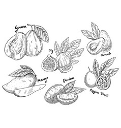 Sketch of guava and avocado fig and mango durian vector