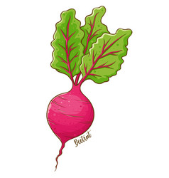 beetroot vegetable hand drawing vector image