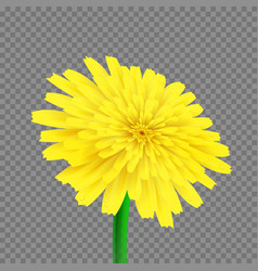 Dandelion isolated vector