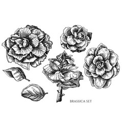 set hand drawn black and white brassica vector image