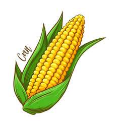 corn on the cob vegetable hand drawing vector image