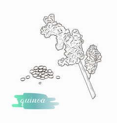 quinoa grain and plant sketch vector image